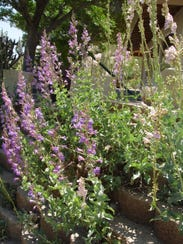 Find out how to grow our fabulous California penstemons