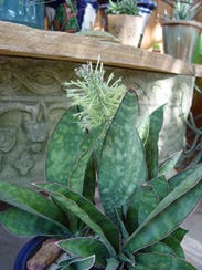 This small exotic species of hard, leathery Sansevieria