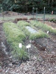 Ryegrass cover crop provides potassium for next crop