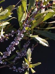 Boiling the wax myrtle berries can extract wax that