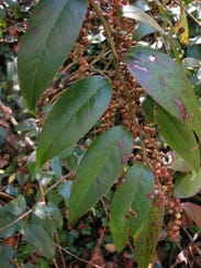 Swamp doghobble is an  evergreen species that grows