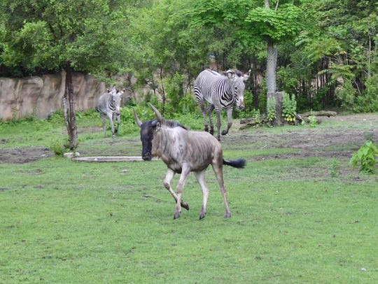 The two male eastern white-bearded wildebeests can