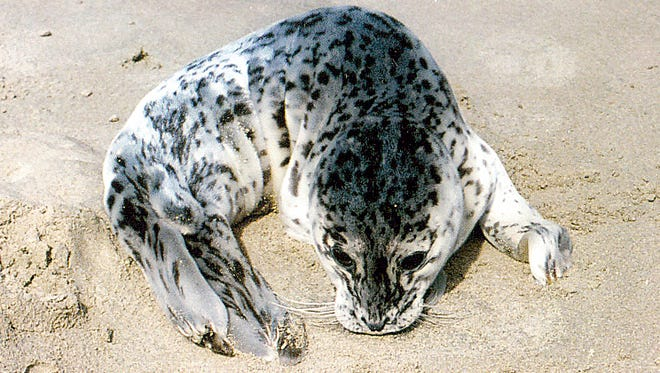 Harbor seal pups need to be left alone, according to Oregon State University marine scientists.