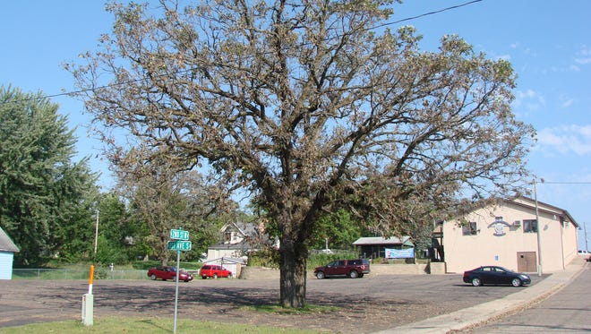 Bur oak blight causes one species of bur oak to lose its leaves in late summer. Some infected leaves will hang on into winter. This tree is in Zimmerman.