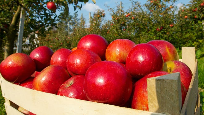 Fresh red apples in orchard.