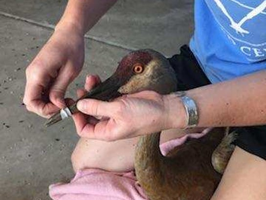 Mandy Feavel of the Wildlife In Need Center removes a rubber earbud wrapped around a sandhill crane's beak.