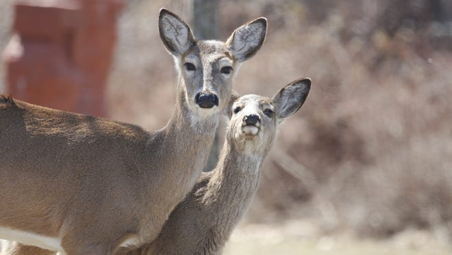 Two deer seen in 2014 in Haverstraw, Rockland County.
