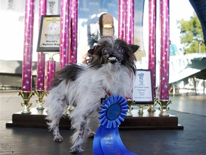 Peanut, a two-year-old mutt poses in front of the winning trophies, after winning the World's Ugliest Dog Contest, at the Sonoma-Marin Fair, Friday, June 20, 2014, in Petaluma, Calif. Peanut is from North Carolina.