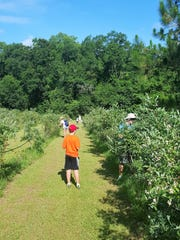 Picking blueberries every June at Green Meadows Farm has become a family tradition.