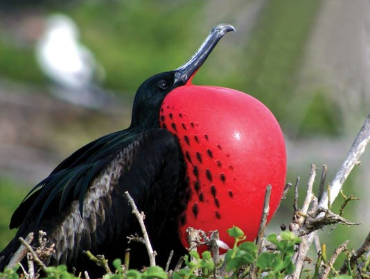 635907213430998857-Frigate-bird-at-the-Frigate-Bird-Sanctuary-Barbuda---Photo-Credit-ABTA.jpg