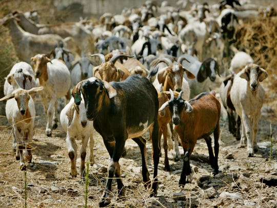 Booking a herd costs between $500 to $1,500 an acre. Some 200 goats can munch on an acre of overgrown brush daily.