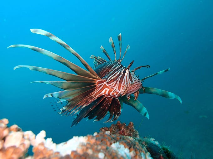 Lion fish photographed by Kim Brungraber in the Gulf