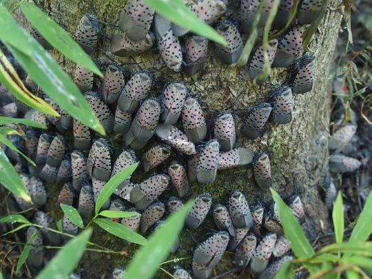 A cluster of adult spotted lanternflies.