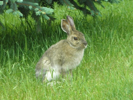 wild rabbit on grass.