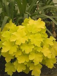 Citronelle coral bells is one of the best yellow selection