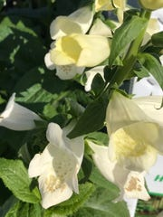 Foxglove is beautiful, widely available -- and deadly.