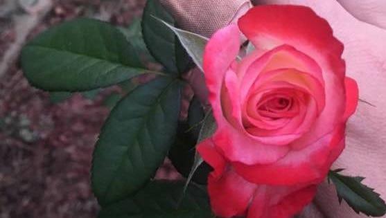 Coretta King Rose