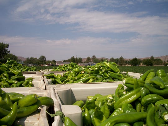 Freshly harvested green chile ready for processing.