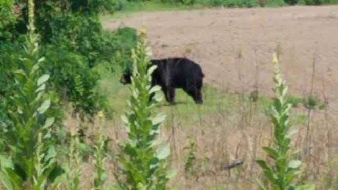A black bear from Wisconsin traveled through Henderson County on Sunday, pictured here about four miles north of Oquawka.