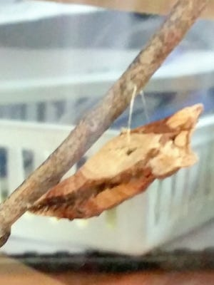The caterpillar found by teachers at the mescalero School created a cocoon and emerged as a butterfly.