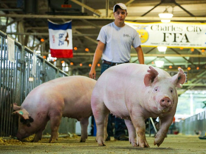 Leigh Marzen of Osage herds his swine to their pens Wednesday Aug. 6, 2014, during setup for the 2014 Iowa State Fair in Des Moines. The fair runs from Aug. 7 to Aug. 17.