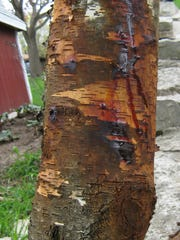 Though orange sap residue may give an unaesthetic appearance, it doesn't affect the tree's health.