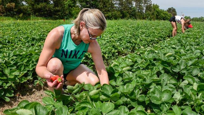 Sara Muniz, Elk River, picks ripe strawberries Thursday, June 21, at Grayson's Berryland in Clear Lake. Muniz makes the annual trip for strawberries to make freezer jam.