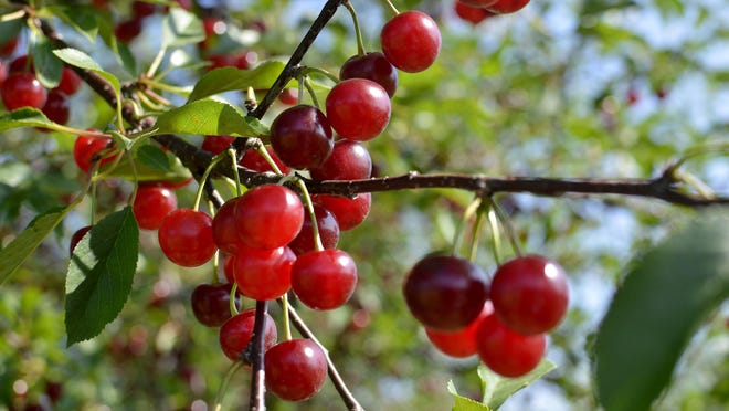 The most diverse American cherry orchard is in Clarksville, Michigan at the Michigan State University facility.