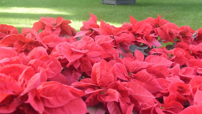 Red poinsettias.