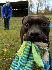 Dad the dog holds a toy in his mouth as he takes part in some play time in November with Kitsap Humane Society's canine behavior coordinator Ashley Atkinson.