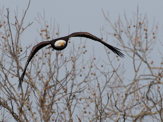 Bald eagles like open lakes and rivers, where they can grab fish and waterfowl for food.