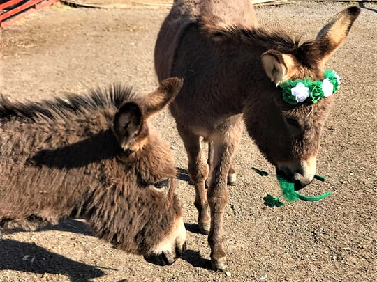 """Donkey """"ambASSadors"""" Jinx and Rose were celebrating St. Patrick's Day when Rose decided the tiara looked tasty."""