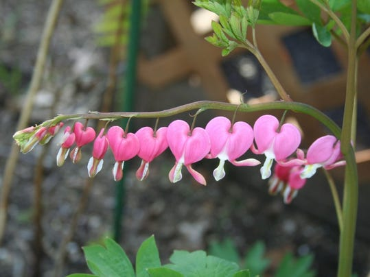 Bleeding Heart (Dicentra) spring bloomer in shade