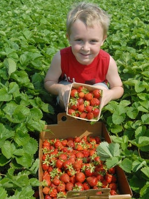 Meuer Farm in Chilton offers a plethora of agtourism activities, including strawberry picking.