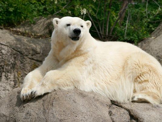 636014203774196486-Polar-bear-Mark-Kaser.jpeg
