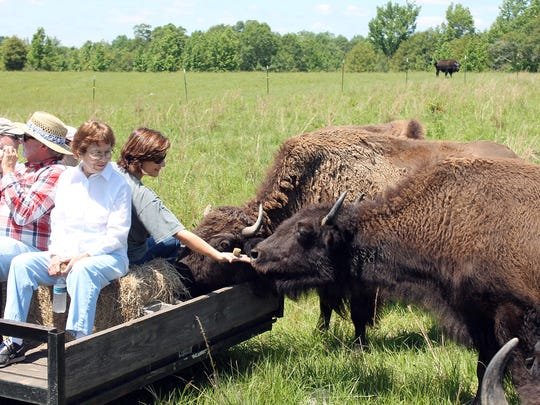 Visitors to Red Gate Bison Ranch near Poplarville feed the animals.
