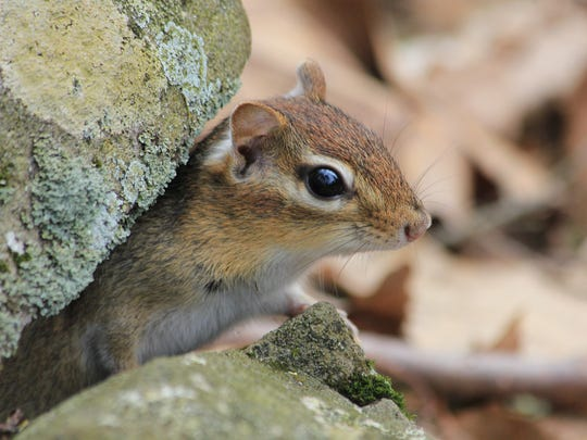 The eastern chipmunk mates twice a year, in April and