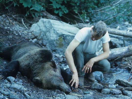 Glacier Park Ranger Leonard Landa examines the bear responsible for fatally mauling Michele Koons at Trout Lake in 1967. The bear was severely emaciated and its ribs could be felt beneath its fur.