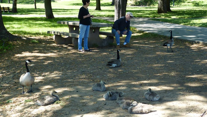 Joe and Mary Korte enjoy the company Thursday of a few geese and goslings at Caldwell Park during a picture perfect afternoon. But the weather will soon be getting hot.