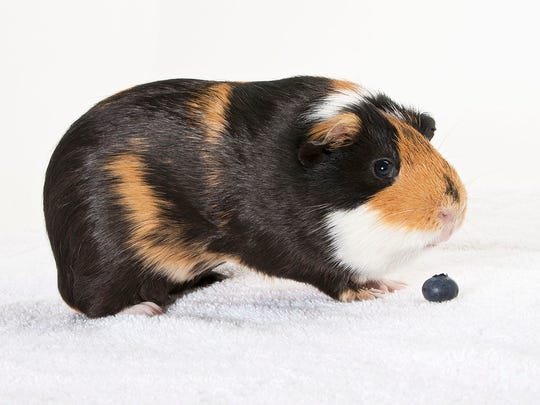 Ciroc, an 1-year-old male Guinea pig. No. 95366.
