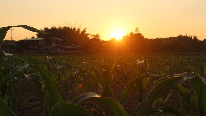 Sunset behind cornfield