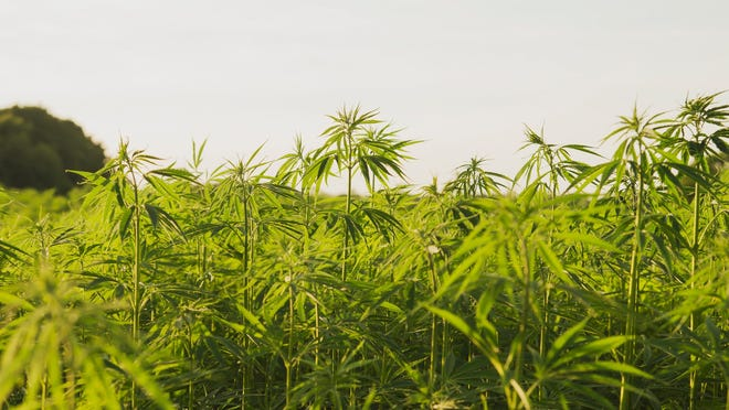 Key provisions of the final rule include licensing requirements; recordkeeping requirements for maintaining information about the land where hemp is produced; procedures for testing the THC concentration levels for hemp; procedures for disposing of non-compliant plants; compliance provisions; and procedures for handling violations.