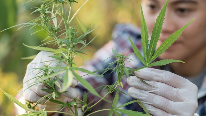 Nearby states like Mississippi, Florida, Louisiana, Virginia, West Virginia and Missouri have all allowed medical cannabis, joining a total of 36 states that have done so. Illinois, a short drive from the Tennessee border, haslegalized recreational use of marijuana.