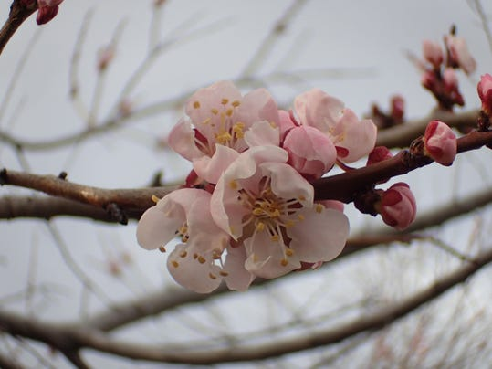 Apricot blossom in mid-March. Grisak
