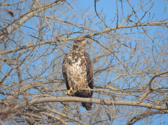 APC 020515 Yard MD BLOG-late winter eagles 2.JPG