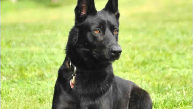 Lucas, the K9 officer who saved the life of his partner, Deputy Todd Frazier.