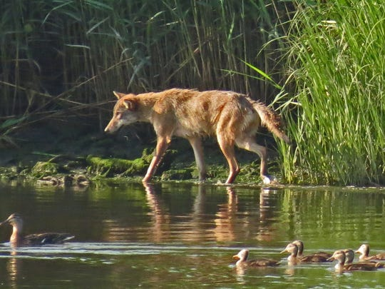 A lone coyote walks along a marsh edge shortly after sunrise at Harrier Meadow in DeKorte Park in Lyndhurst.