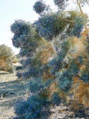 Walk up close to a smoke tree, and you'll see that the indigo flowers are, individually, quite small, and resemble flowers on a pea plant, to which smoke trees are related.