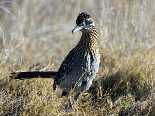 New Mexico's most unique bird, the roadrunner.