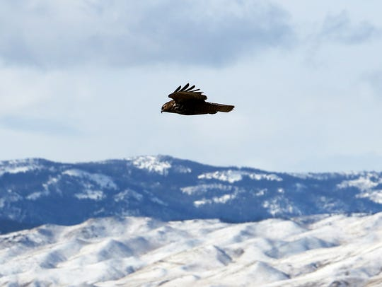 A Red tailed-hawk soars above the mountains near Reno